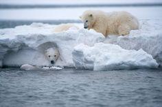 Dos cachorros de osos polares juegan en el borde de un banco de hielo en Bernard Spit, una isla frente a la costa noreste de Alaska (Steven Kazlowski, 2014)