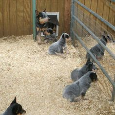 baby blue heelers - such cute puppies, such odd dogs. Blue Dog, Baby Blue, Puppies And Kitties, Doggies, Austrailian Cattle Dog, Blue Heelers, Aussie Dogs, Dog Rules, Working Dogs