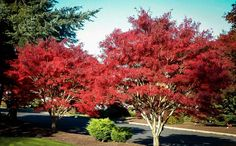 atrolineare - nice smaller tree 12 - wider than tall Pruning Japanese Maples, Purple Red Color, Colour, Portland Japanese Garden, Acer Palmatum, Maple Tree, Deciduous Trees, Growing Tree, Small Trees