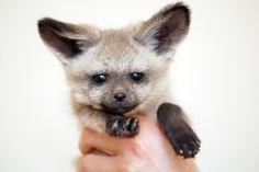 Bat eared fox by floridapfe, via Flickr