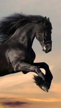 Beautiful Horse.  Reminds me of by Uncle's horse Tag.  Black as night and so shiny