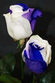 Blue and white Roses via Lovely Roses Facebook page