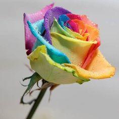 200Pcs Rainbow Rose Seeds Rare Flower Perennial Potted Rose Plant Seeds DIY Garden Seeds