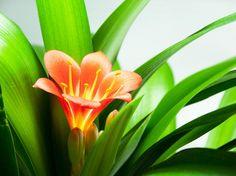 Le clivia est une plante d'intérieur qui offre une magnifique floraison durant tout le printemps. Mais si l'on souhaite profiter de ce spectacle chaque...