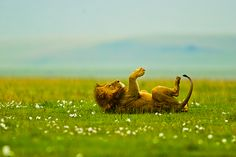 Lion swatting a fly in the Ngorongoro Crater, Tanzania, Jan 2010.