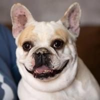 Available Pets At National Mill Dog Rescue In Colorado Springs Colorado Rescue Dogs French Bulldog Pets
