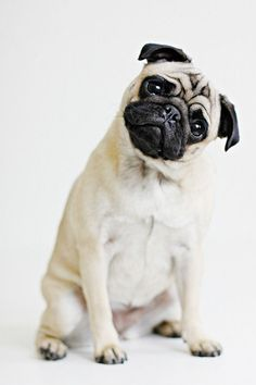 I don't like pugs before year.My grandma have pug puppie and I love him.Pugs are awesome. Pug Love, I Love Dogs, Cute Dogs, Raza Pug, Shih Tzu Hund, Sweet Dogs, Baby Pugs, Dog Pictures, Dog Photos