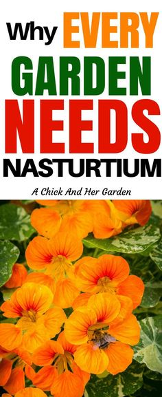 23 Reasons Why You Need Nasturtium In Your Garden Nasturtium is one of my favorite annuals! Not only is it beautiful its delicious and has so many benefits! The post 23 Reasons Why You Need Nasturtium In Your Garden appeared first on Garden Easy. Organic Vegetables, Growing Vegetables, Gardening Vegetables, Herb Garden, Garden Plants, Herb Plants, Garden Shade, Potager Garden, Garden Boxes