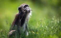 Małpka, Makak krabożerny