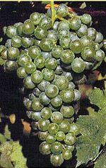 Fringe Wine: Verduzzo Friulano grape - Friuli, Italy
