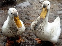 Ducks Are Clean ... Really These ducks might be muddy now, but ducks generally take care to stay clean by preening themselves often. Include a kiddie pool in your garden to help with bathing. Are Ducks the New Chickens? : Outdoors : HGTV