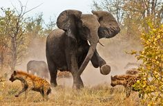 Słoń, Hieny