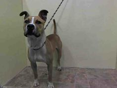 GONE --- Manhattan Center    CHEZ - A1001274    MALE, TAN / WHITE, AMERICAN STAFF MIX, 2 yrs  STRAY - STRAY WAIT, NO HOLD  Reason STRAY   Intake condition NONE Intake Date 05/28/2014, From NY 11377, DueOut Date 05/31/2014  https://www.facebook.com/photo.php?fbid=812475862098628&set=a.617938651552351.1073741868.152876678058553&type=3&permPage=1