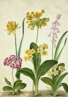 Cowslip, Primrose and other flowers by Johann Jakob Walther.  17th century.  V & A. Museum.  via Artfinder.com