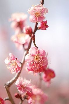 Seeing all the beautiful cherry trees blossom is one of my favorite signs of Spring.