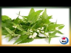 Propiedades curativas de la ortiga verde - Para que sirve la ortiga como planta medicinal - YouTube