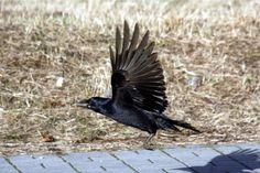 Wrona, gawron( na zdjęciu), wróbel - widujemy je na co dzień i zdawałoby się, że jest ich najwięcej np