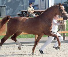 Carola Woma (v. Vitens) ; Gelderlander Horse