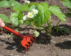 : Уход за клубникой с весны до осени