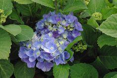 HYDRANGEA macrophylla 'Bodensee' Hydrangea Macrophylla, Vegetables, Hydrangeas, Veggies, Vegetable Recipes, Hydrangea