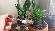 Pred niekoľkými týždňami mi moja kamarátka - majiteľka kvetinárstva poradila skvelú domácu výživu pre izbové rastliny. Obzvášť teraz, keď sú kvetinárstva a záhradkárske potreby zavorené ho môžete skvele využiť aj vy. Táto výživa nič nestojí … Plants, Banana, Cactus, Flowers, Bananas, Plant, Fanny Pack, Planets