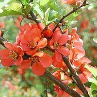 Japanese Quince Shrub...spring flowers