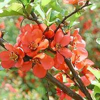 Japanese Quince Shrub...spring flowers