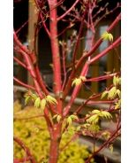Coral Bark Japanese Maple (Acer palmatum Sangokaku) -Beautiful small tree has brilliant coral bark on young branches; color intensifies in winter. Deeply cut light green leaves display attractive red margins; turn golden in fall. Deciduous.