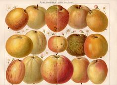 1893 Apple Varieties Antique Print, Apfelsorten, German Historical Apple varieties, System Diel Lucas, Pomology, Apple Cultivars on Etsy, $46.79