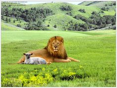lion lying with the lamb - for Grandma Blackwell....
