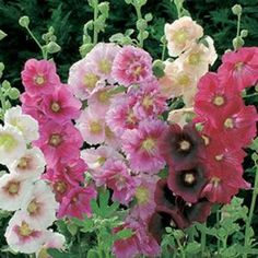 Oh Hollyhocks!! I love you! (Little water. Full sun. Drought tolerant. Attracts butterflies. Yay!)