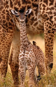 Silly baby giraffe!  Another incredible Giraffe family portrait! She's smiling for the camera.