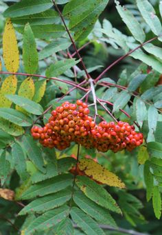 A native of the Northeast, the little-used rowan, or mountain ash (Sorbus americana), is a striking choice for any garden spot with full sun. Large bunches of amber berries (they make excellent jellies and cordials) ripen from late summer and are later backlit by the crimson compound leaves. Ask for this tree at a native plant nursery. It deserves to be better known.