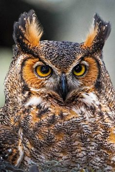 Great Horned Owl,-- Messenger that announces new cycles often through clairvoyance. Can readily adapt to change. Able to hear what is not spoken and an extractor of secrets. The Great Horned Owl represents the Moon and the Red-Tailed Hawk the Sun Beautiful Owl, Animals Beautiful, Cute Animals, Owl Photos, Owl Pictures, Photo Chat, Great Horned Owl, Owl Bird, Tier Fotos