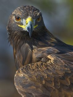 Watching these amazing birds of prey, Golden Eagle, is my favorite part of the day! #WildlifeBiologist
