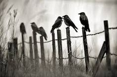 Image result for crows on a fence images