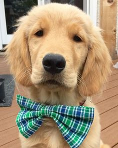 Rockin that bow tie Golden Retrievers, Dogs Golden Retriever, Huge Dogs, I Love Dogs, Puppy Love, Cute Baby Dogs, Cute Dogs And Puppies, Doggies, Dressed Up Dogs
