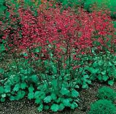 """Heuchera sanguinea Bressingham  Coral Bell, Alum Root    Height: Medium 18- 24"""" / Plant 10"""" to 16"""" apart  Bloom Time: Late Spring to Late Summer  Sun-Shade: Full Sun to Mostly Shady  Zones: 3-8   Get Your Zone  Soil Condition: Normal, Acidic  Flower Color / Accent: Mixed / Mixed"""