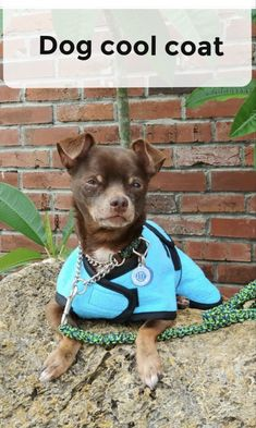 Small dogs need help staying cool too. A custom dog cool coat from Made by De can help. Find out more here. Small Dog Coats, Small Dogs, Cool Coats, Dog Safety, Little Dogs, Dog Care, More Fun, French Bulldog, The Help