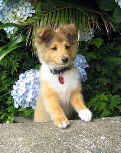 love love young short haired shelties-- just wait belle