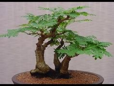 Mulching Spread 4 or 5 inches thick layer of mulch around tamarind tree at the beginning of each spring. This helps to protect the roots of the tree, prevent. Bonsai Art, Bonsai Plants, Bonsai Garden, Garden Plants, House Plants, Bonsai Trees, Tamarindus Indica, Tree Care, Plantar