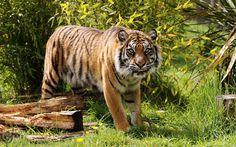 Lataa kuva Amur tiger, predator, tiikerit, wildlife, nuori tiikeri
