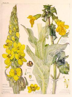 1910 Antique Botanical Print by Harriet Isabel Adams: Figwort Vintage Botanical Prints, Botanical Drawings, Botanical Flowers, Botanical Art, Gravure Illustration, Illustration Art, Illustration Botanique, Vintage Drawing, Nature Prints