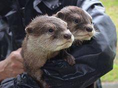 Naissance de deux adorables bébés loutres au Japon !