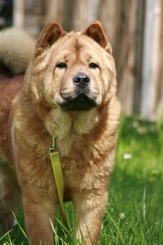 Hary-Ming Pretty Smooth Girl | The Smooth Chow Chow