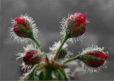 Frosted buds