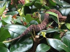 Florida Snake Photograph - A baby cottonmouth with a green tail tip