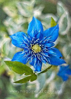 Image result for Clematis Blue Star