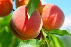 How to Grow Peaches & Nectarines - Nothing compares with perfectly ripe peaches and nectarines fresh from the tree - Reader's Digest Australia Growing Peach Trees, Vegetables Photography, Ripe Peach, Valley Girls, Perfume, Fruit Of The Spirit, Orange Blossom, Outdoor Fun, Fruits And Veggies
