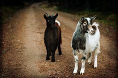 #goatvet likes this photo on a photographer's blog site - Niklas Andersen